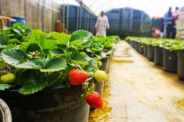 strawberry farm places to visit in nuwara eliya