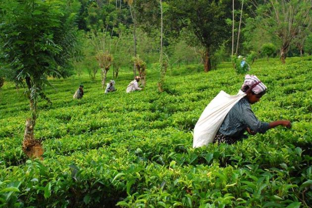 tea planation things to do in kandy