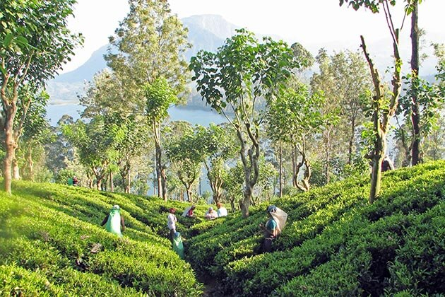 tea plantations - the best places to visit in sri lanka