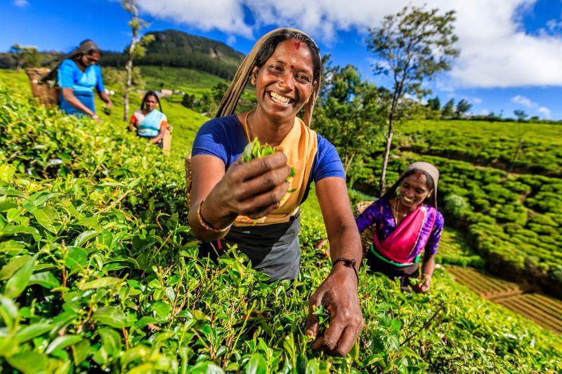 visit tea planation in sri lanka holiday tours